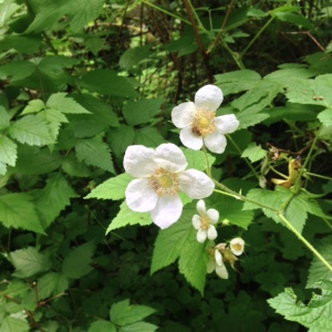 Sol duc salmonberry